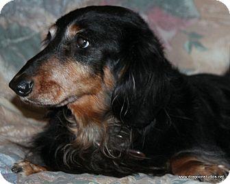 Dachshund Dog for adoption in Spokane, Washington - Bear, pending home
