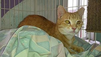 Domestic Shorthair Cat for adoption in Iroquois, Illinois - Sniffy
