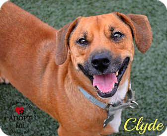 Corgi Mix Dog for adoption in Youngwood, Pennsylvania - Clyde