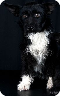 Scottie, Scottish Terrier Mix Puppy for adoption in Saddle Brook, New Jersey - Laura