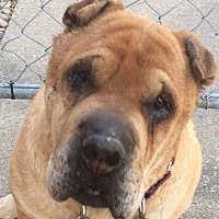 Shar Pei Dog for adoption in Barnegat Light, New Jersey - Pearl