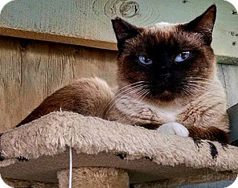 Siamese Cat for adoption in Savannah, Georgia - Sierra
