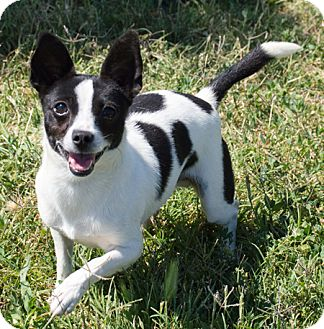Chihuahua/Rat Terrier Mix Dog for adoption in Patterson, California - Radar