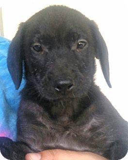 Labrador Retriever Mix Puppy for adoption in Hammonton, New Jersey - spanky
