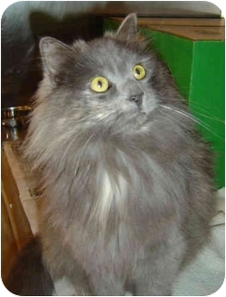 Domestic Longhair Cat for adoption in Overland Park, Kansas - Skippy