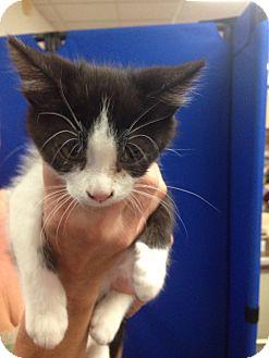 Domestic Mediumhair Kitten for adoption in Tehachapi, California - Striper