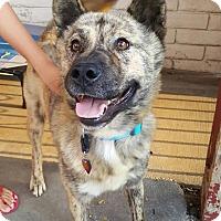 Adopt A Pet :: Tigger - La Mirada, CA