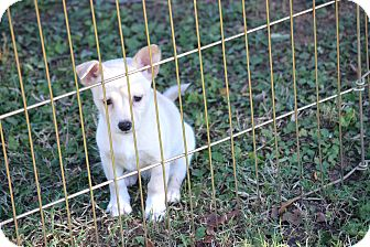 Husky/Chihuahua Mix Puppy for adoption in Pikeville, Maryland - Caramel Apple