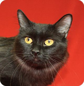 Domestic Mediumhair Cat for adoption in Jackson, Michigan - Betty