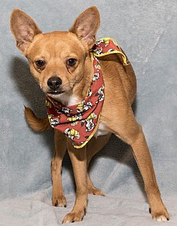 Chihuahua Mix Dog for adoption in Mt. Prospect, Illinois - Aden