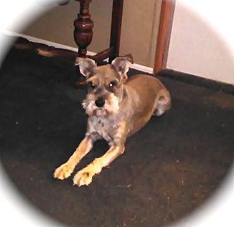 Miniature Schnauzer Dog for adoption in Winter Haven, Florida - Dex
