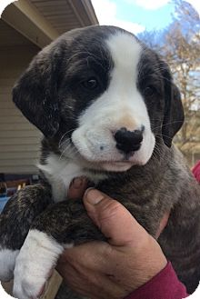 Shepherd (Unknown Type) Mix Puppy for adoption in Medora, Indiana - APRIL - fence required