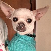 Adopt A Pet :: Bella - Ardmore, OK