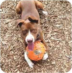 Labrador Retriever/Pointer Mix Dog for adoption in Berkeley, California - Spence