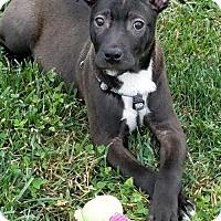 Adopt A Pet :: Stewart - Elkton, MD