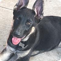 German Shepherd Dog Puppy for adoption in Detroit, Michigan - Augusta-Pending!