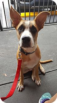 Boxer/Shepherd (Unknown Type) Mix Dog for adoption in Tampa, Florida - Scoot