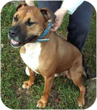 American Pit Bull Terrier/Boxer Mix Dog for adoption in Milton, Massachusetts - Sam