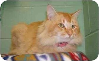 Domestic Longhair Cat for adoption in Brenham, Texas - Leo