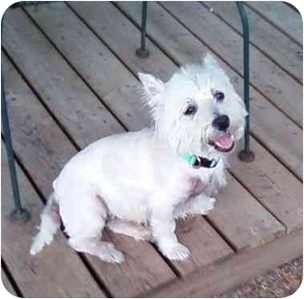 Westie, West Highland White Terrier Dog for adoption in Frisco, Texas - Prince Howie
