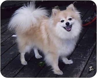 Pomeranian Dog for adoption in Owatonna, Minnesota - Fritz