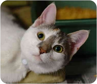 Calico Cat for adoption in Brooklyn, New York - Sass