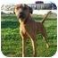 Photo 1 - Rhodesian Ridgeback/Labrador Retriever Mix Dog for adoption in Freeport, New York - Rusty