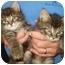 Photo 3 - Domestic Shorthair Kitten for adoption in Richmond, Virginia - Blueberry