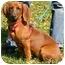 Photo 1 - Dachshund Mix Dog for adoption in Avon, New York - Hunter