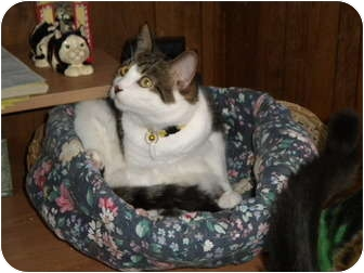 Domestic Shorthair Cat for adoption in Cleveland, Ohio - Spitfire