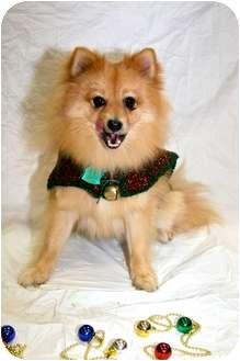Pomeranian Dog for adoption in Edmond, Oklahoma - Prancer