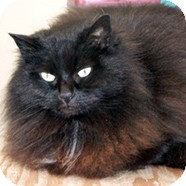 Domestic Longhair Cat for adoption in Victoria, British Columbia - Penelope