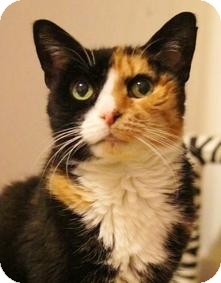 Calico Cat for adoption in Medford, Massachusetts - Winkie