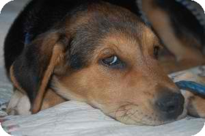Shepherd (Unknown Type)/Hound (Unknown Type) Mix Puppy for adoption in Anza, California - Veda Boy #1