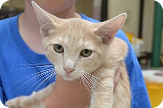 Domestic Shorthair Kitten for adoption in Elyria, Ohio - Pete