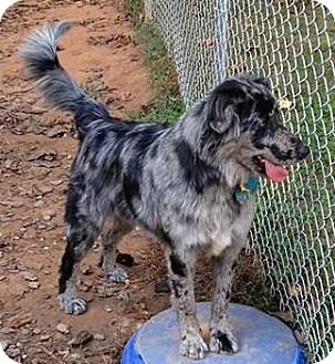 Catahoula Leopard Dog/Australian Shepherd Mix Dog for adoption in Lincolnton, North Carolina - Gracie