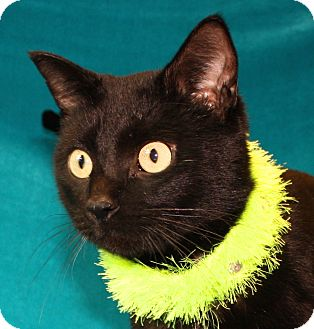 Domestic Shorthair Cat for adoption in Jackson, Michigan - Jello