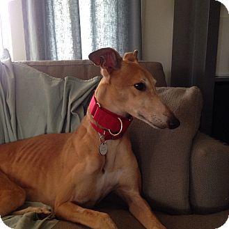 Greyhound Dog for adoption in Glastonbury, Connecticut - Janet