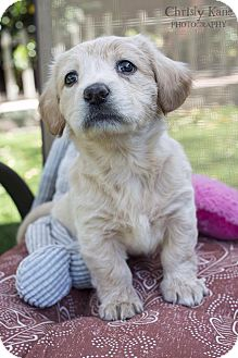 Havanese/Labrador Retriever Mix Puppy for adoption in Encino, California - MARLEY