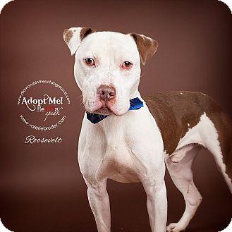 American Pit Bull Terrier Mix Dog for adoption in Philadelphia, Pennsylvania - Roosevelt