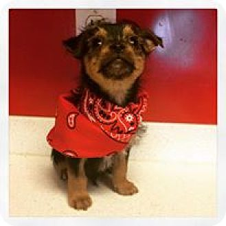 Yorkie, Yorkshire Terrier/Chihuahua Mix Puppy for adoption in Carrollton, Georgia - Jace