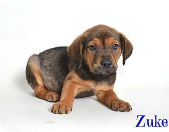Catahoula Leopard Dog/Shepherd (Unknown Type) Mix Puppy for adoption in Metairie, Louisiana - Zuke