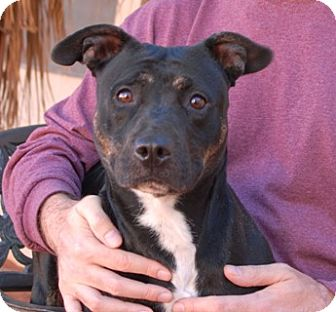 Staffordshire Bull Terrier/American Staffordshire Terrier Mix Dog for adoption in Las Vegas, Nevada - Teena