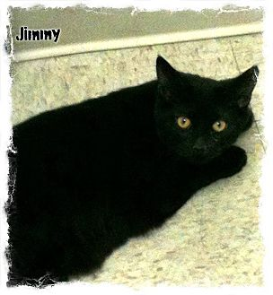 Domestic Shorthair Cat for adoption in Covington, Kentucky - Jimmy