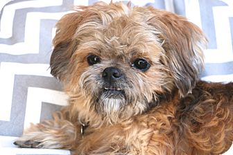 Shih Tzu Mix Dog for adoption in Bedminster, New Jersey - Thomas - MEET ME