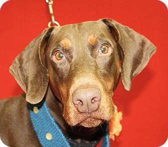 Doberman Pinscher Dog for adoption in Jackson, Michigan - Jessie