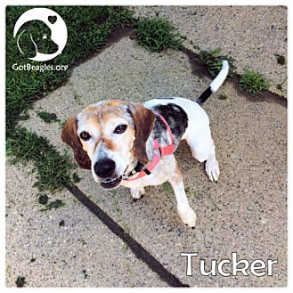 Beagle Mix Dog for adoption in Chicago, Illinois - Tucker