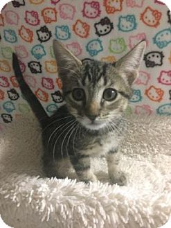 Domestic Shorthair Kitten for adoption in Fountain Hills, Arizona - TODDLES