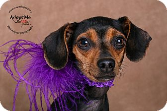 Dachshund Mix Dog for adoption in Cincinnati, Ohio - Mercie- WAIVED FEE