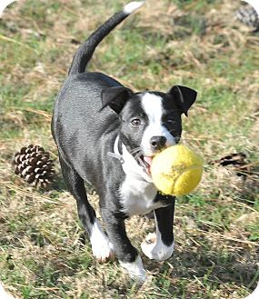 Border Collie/Labrador Retriever Mix Puppy for adoption in Westerly, Rhode Island - Evelyn